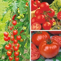 Tomato Grafted Veg Plant Collection