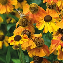 Helenium Sahin's Early Flowerer Potted Flower Plant