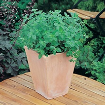 Oregano Herb Plants