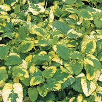 Lemon Balm Variegated Herb Plants