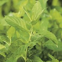 Peppermint Herb Plants