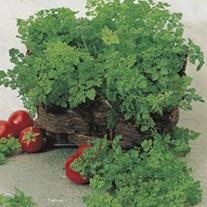 Chervil Herb Plants