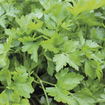 Parsley Italian Giant Herb Plants