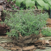 Summer Savory Herb Plants