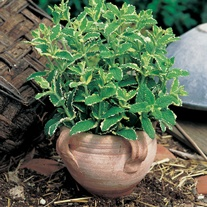 Pineapple Mint Herb Plants