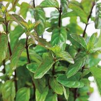 Basil Mint Herb Plants