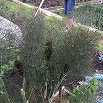 Bronze Fennel Herb Plants
