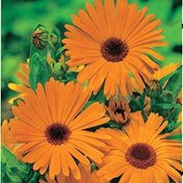 Pot Marigold Herb Plants