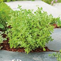 Sweet Marjoram Herb Plants