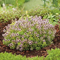 Thyme Archers Gold Herb Plants