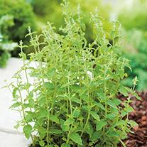 Strawberry Mint Herb Plants