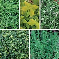 Herb Hanging Basket Plant Collection