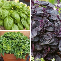 Basil Herb Plant Collection