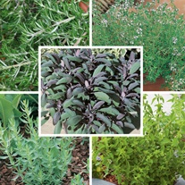 Barbeque Herb Plant Collection