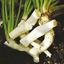 Horseradish Thongs