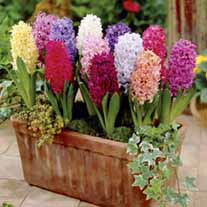 Hyacinth Flower Bulb Mix