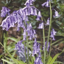 English Bluebell Flower Bulbs