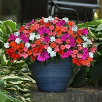 Impatiens Beacon Mixed F1 Flower Plants