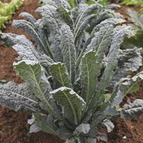 Kale Nero di Toscana Plants