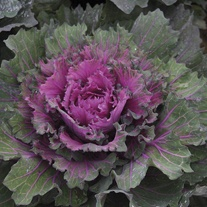 Buttonhole Kale Starmaker Seeds