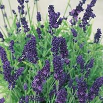 Lavender Hidcote Plug Plants