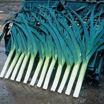 Leek Carlton F1 Veg Plants