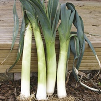 Leek Cairngorm F1 Vegetable Plants