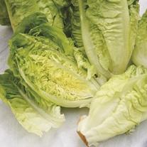 Lettuce Winter Gem Plants