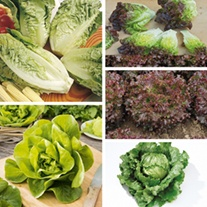 Lettuce Veg Plant Collection
