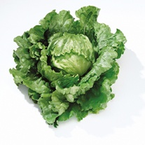 Lettuce Barcelona Vegetable Plants