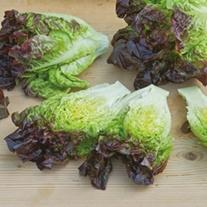 Lettuce Amaze Plants