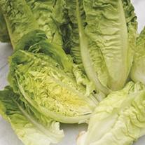 Lettuce Valian (Winter Gem) Plants