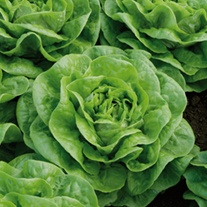 Lettuce Brighton Vegetable Plants