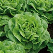 Lettuce Brighton Vegetable Plants