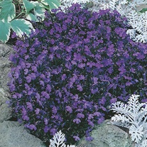 Lobelia Crystal Palace Flower Plants
