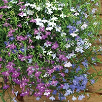Lobelia Wonderfall Mixed Plug Plants
