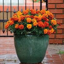 Marigold Fireball F1 Plug Plants
