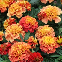 Marigold Strawberry Blonde Plug Plants