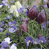 Anemone & Fritillaria Flower Bulb Collection
