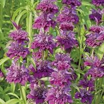 Monarda Bergamo Flower Plants