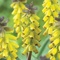 Muscari macricarpum Golden Fragrance Flower Bulbs