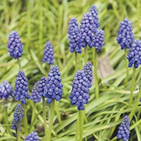 Muscari armeniacum Flower Bulbs