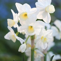 Narcissi Silver Chimes Flower Bulbs