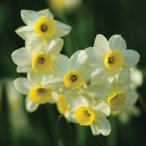 Narcissi Minnow Flower Bulbs