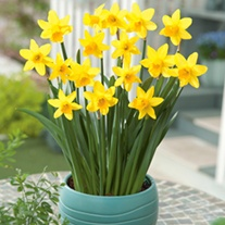 Narcissi Tete a Tete Flower Bulbs