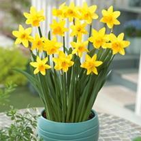 Narcissi Tete a Tete Flower Bulbs