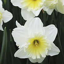 Narcissus Ice Follies Flower Bulbs
