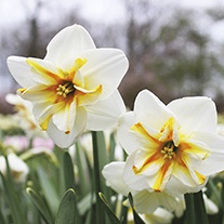 Narcissus Broadway Star Flower Bulbs