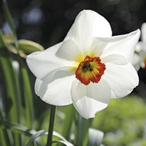 Narcissus Pheasents Eye Flower Bulbs