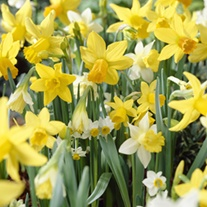 Narcissus Species Mixed Colours Flower Bulbs